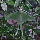 Luna Moth by Lisa G. Putman