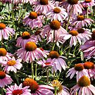 Cone Flowers by joan warburton