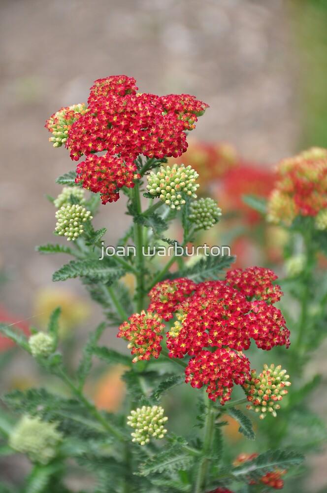 Red Stars by joan warburton