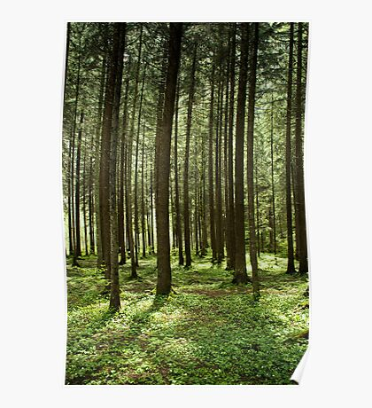 Dappled Light and Tall Trees Poster