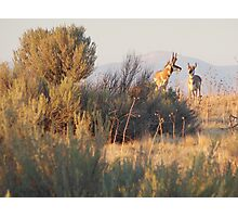 Antelope Pair Photographic Print