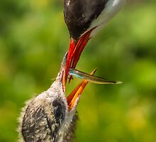 Arctic Tern Feeding Chick by Roger Hall