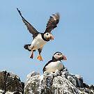 Puffin Taking Off by Roger Hall