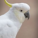 Sulpher Crested Cockatoo - Cacatua galerita by Travis Easton