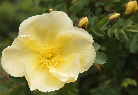 Wild Yellow Rose by Linda  Makiej