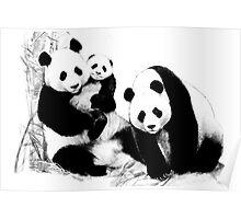 Giant Panda (Ailuropoda melanoleuca) (Panda family) Poster