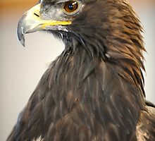 Golden Eagle in Respose by Bryan Shane