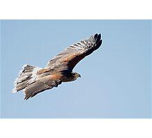 Harris Hawk Flight Show  Photographic Print