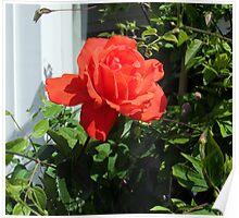 a lovely rose  Poster