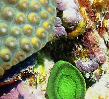 Emerald Green Artichoke Anemone on Coral Reef Wall by Amy McDaniel