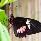 Black and Red Cattleheart Butterfly Macro Photo by Amy McDaniel