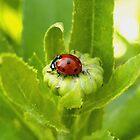 Macro Ladybug on Garden Plant by Amy McDaniel