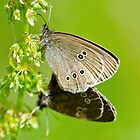 Mating Ringlets by Margaret S Sweeny