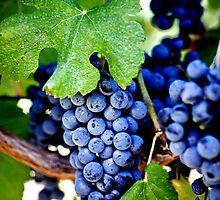 Napa Valley California - Vineyard Merlot Grapes by WineEventsUSA