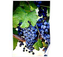 Napa Valley California - Vineyard Merlot Grapes Poster