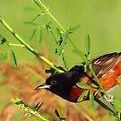 Orchard Oriole by lorilee