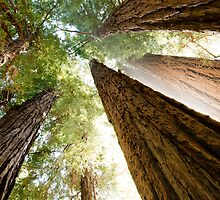 Redwood Canopy by Bryan Shane