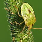 Brown Marmorated Stink Bug Nymph by Ron Russell
