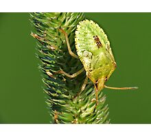 Brown Marmorated Stink Bug Nymph Photographic Print