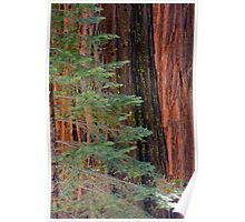 Sequoia In the Pines Poster