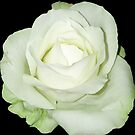White rose by Arve Bettum