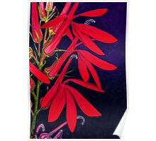 Cardinal Flower - Watercolor Pencil Poster