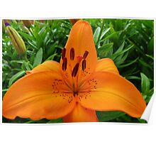 Reach for the Sky! Orange Lily and Buds Poster