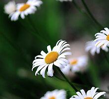 daisy select.. by JOSEPHMAZZUCCO