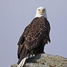 Bald Eagle, Katmai, Alaska, USA by Margaret  Hyde
