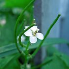 White Wildflower - Garlic Mustard by Louise Parton