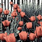 Roses selective colour by Elowrey