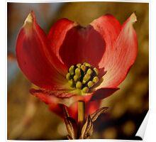 Unique Dogwood Blossom Poster