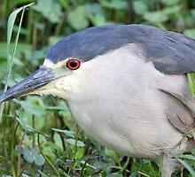 A  Black Crowned Night Heron Profile by jozi1