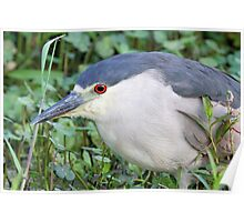 A  Black Crowned Night Heron Profile Poster