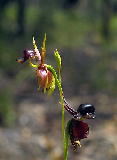 Flying Duck Orchid Duo #2 - Gippsland by Bev Pascoe