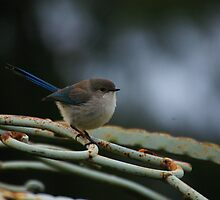 Blue Wren on the gazebo by Adrian Kent