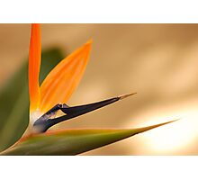 Afrcan Flower Photographic Print