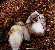 Ducklings with their mother. by littleredbird