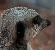 Another meerkat. by littleredbird