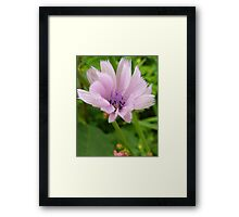 Pink Chicory Framed Print