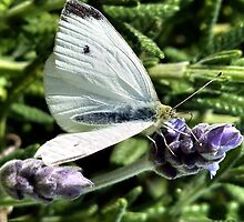 Cabbage Butterfly by V1mage