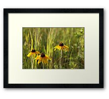 Wild Black Eyed Susan Framed Print