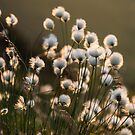 Golden Cotton Grass by James Grant