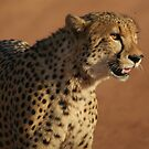 A cheetahs' gaze by Tara Pirie