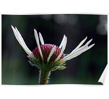 Pale Purple Coneflower - Opening Poster