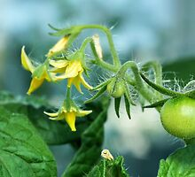 unripe tomatoes by mrivserg