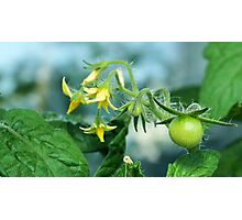 unripe tomatoes Photographic Print