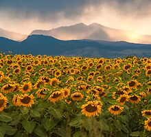 Sunflower Storm by Gregory J Summers
