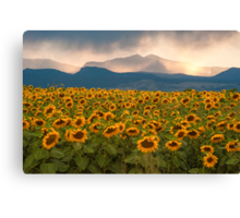 Sunflower Storm Canvas Print