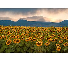 Sunflower Storm Photographic Print